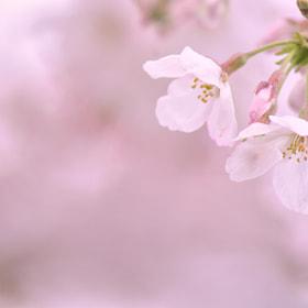 SAKURA  by Sasaki Tomohiro (eyewearadviser)) on 500px.com
