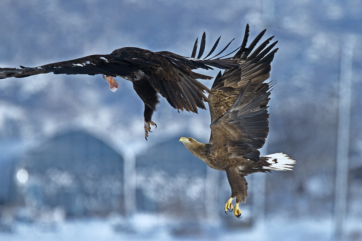Photograph white tailed sea eagle by Jitaek Park on 500px
