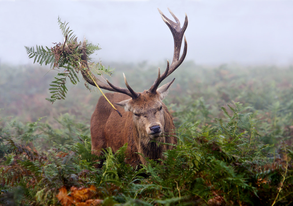 Photograph Red deer  by bespokeframes4u on 500px