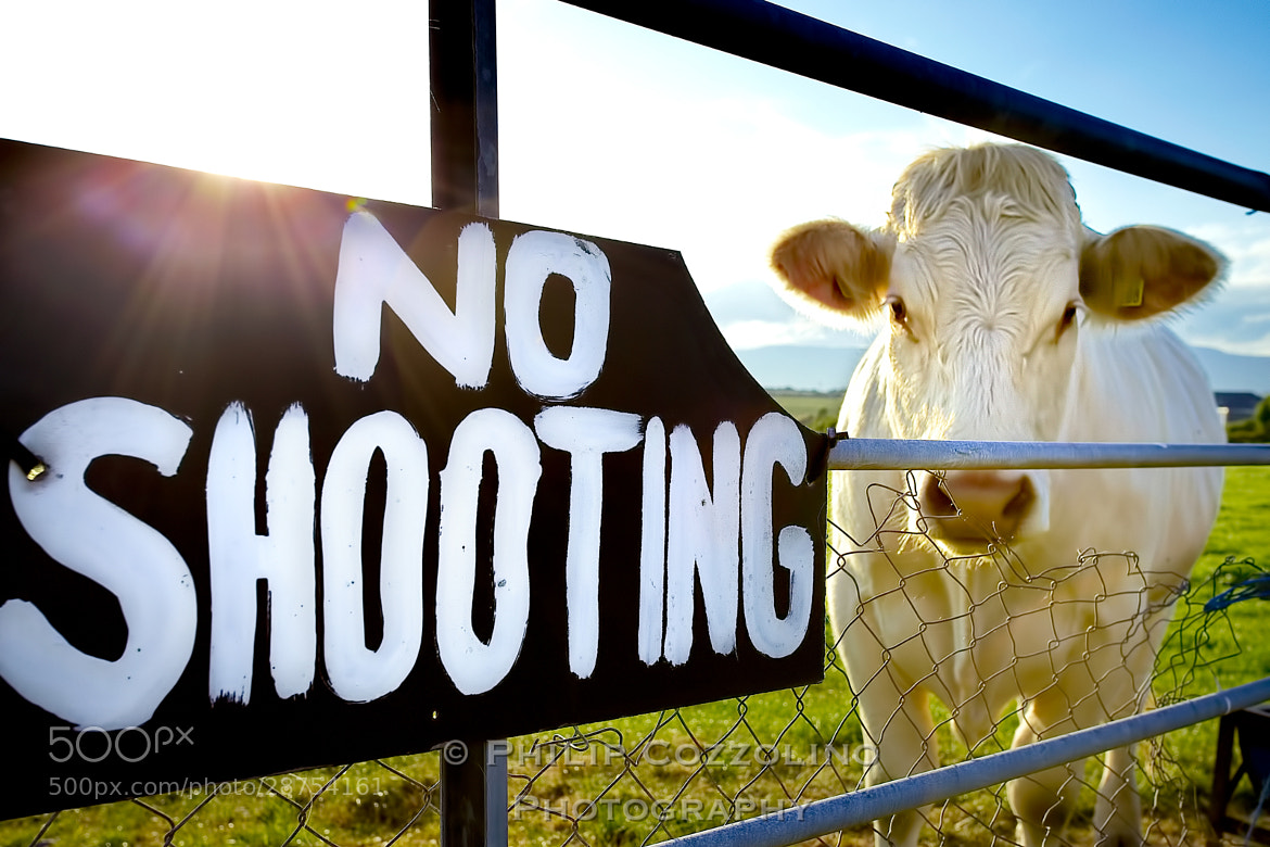 Photograph Save the Cows by Philip Cozzolino on 500px