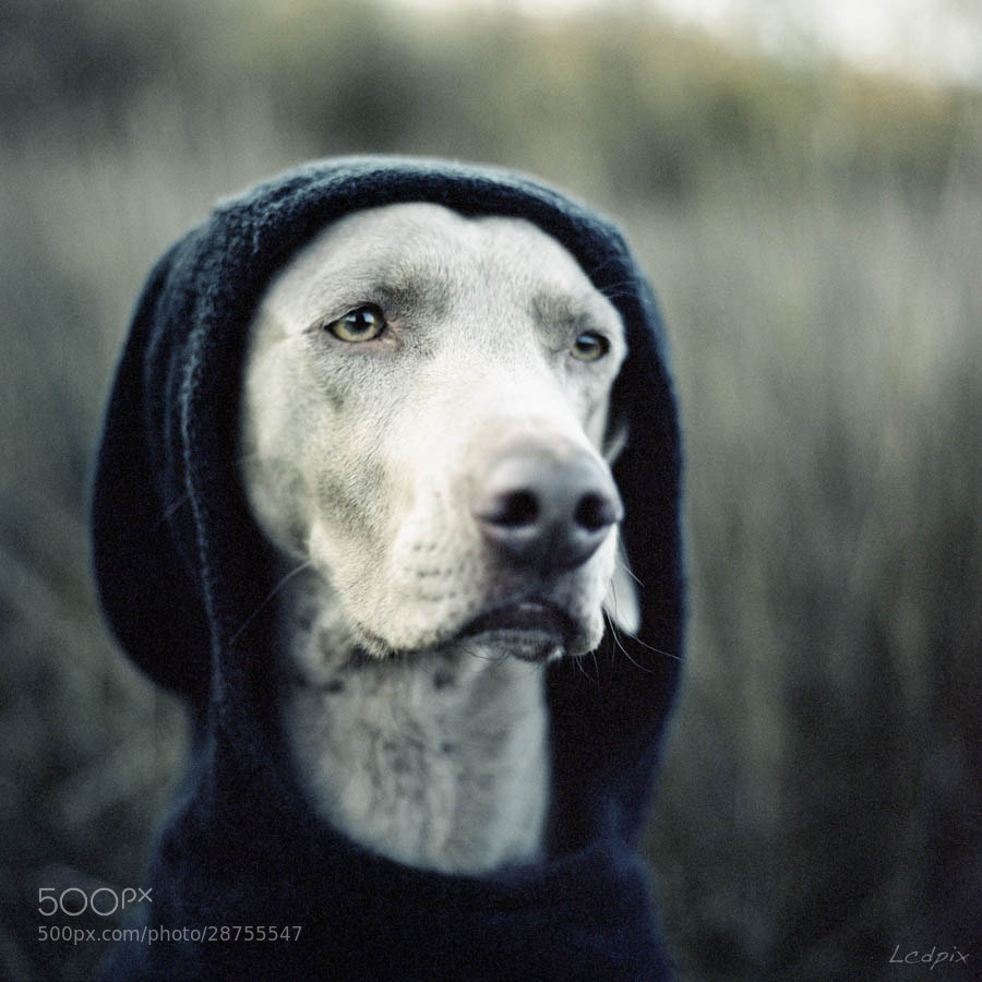 """Photograph """"The Dogside Project"""", tribute to W. Wegman by Lcdpix on 500px"""