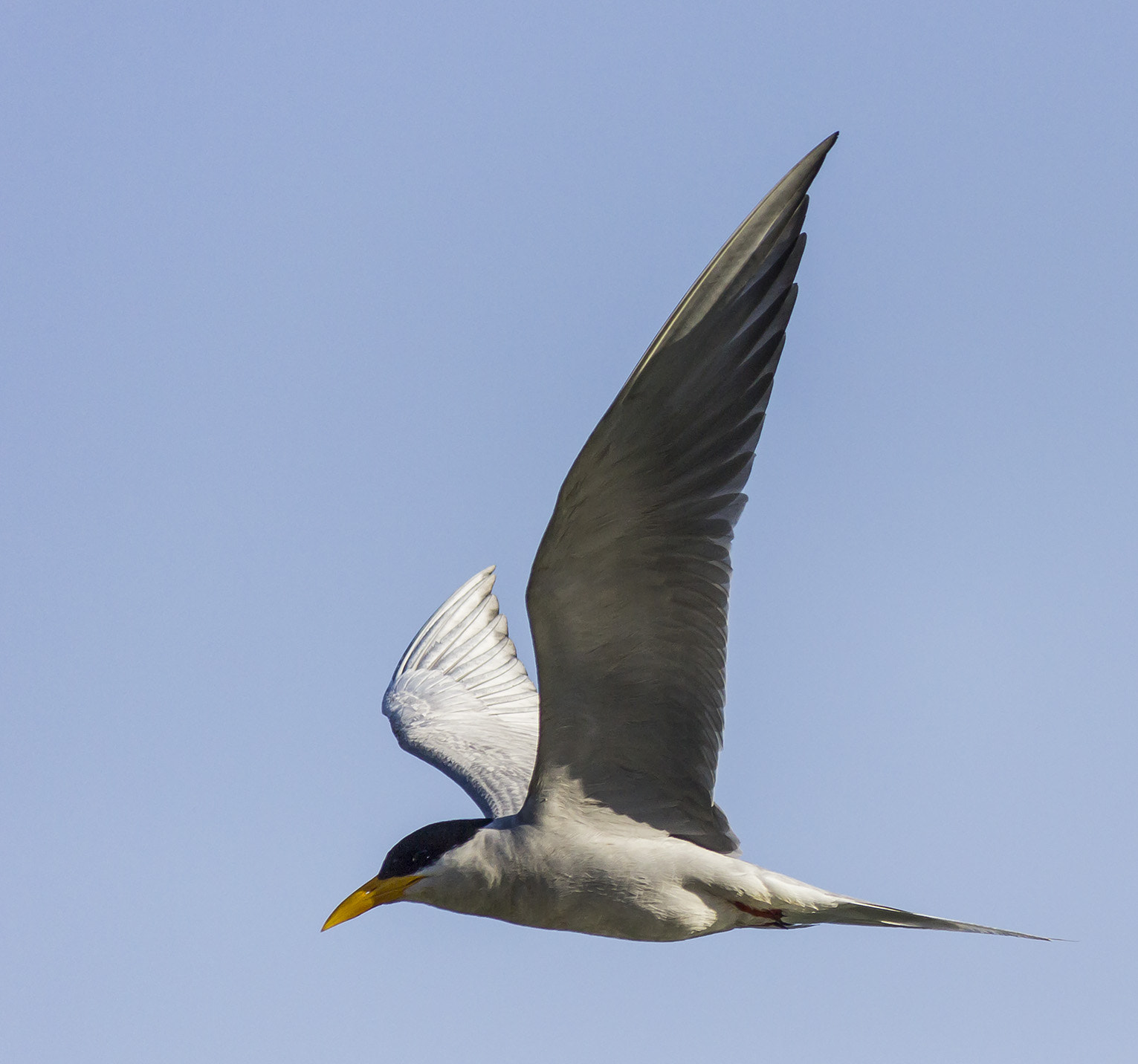 Photograph River Tern ( kinai)  by Akshay Khare on 500px