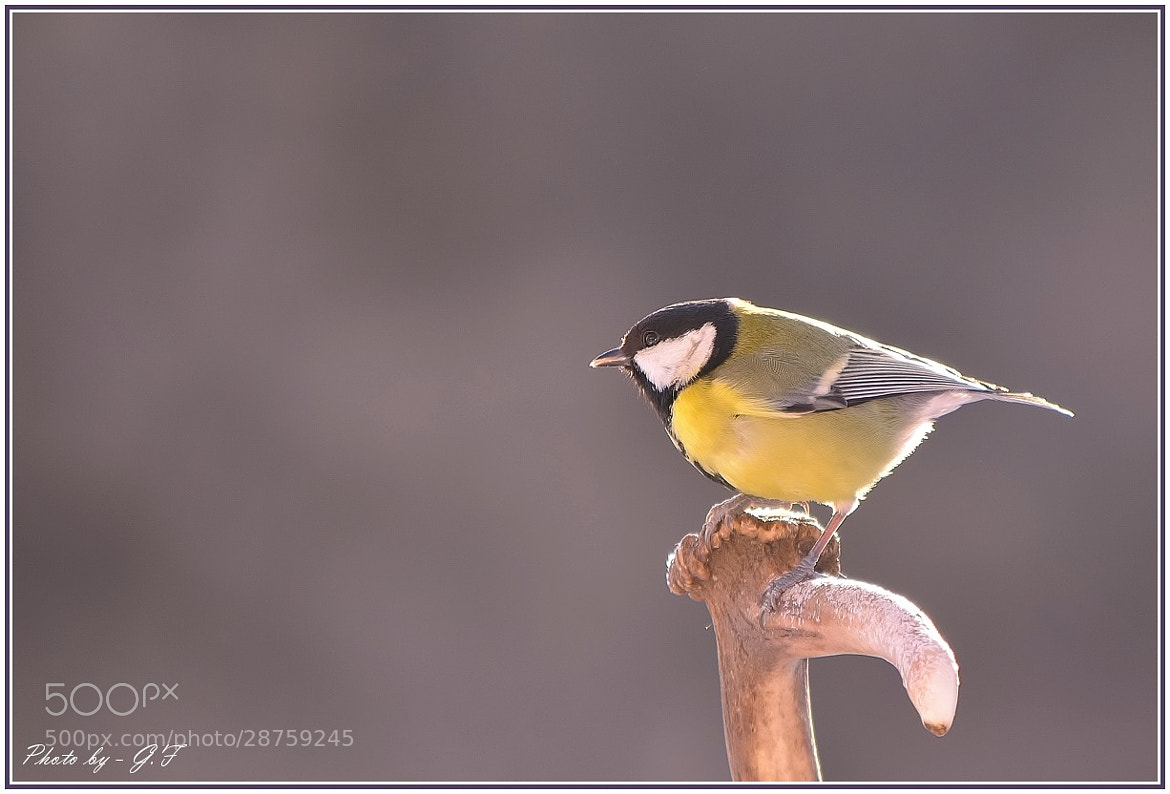 Photograph Great Tit by Ferenc Gelencsér on 500px