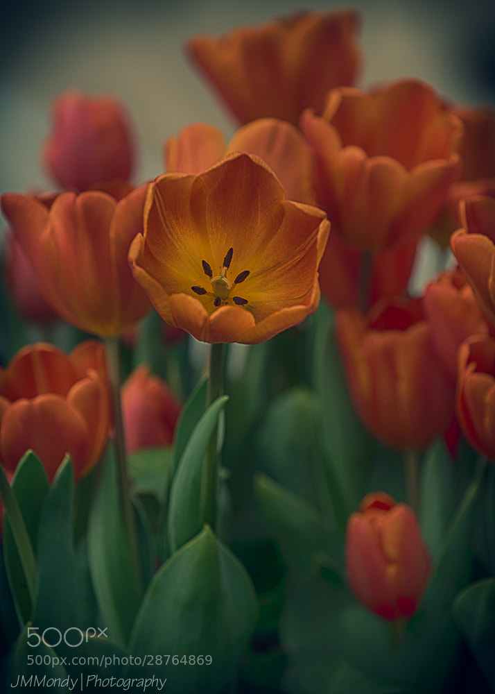 Photograph Tulip by John Mondy on 500px