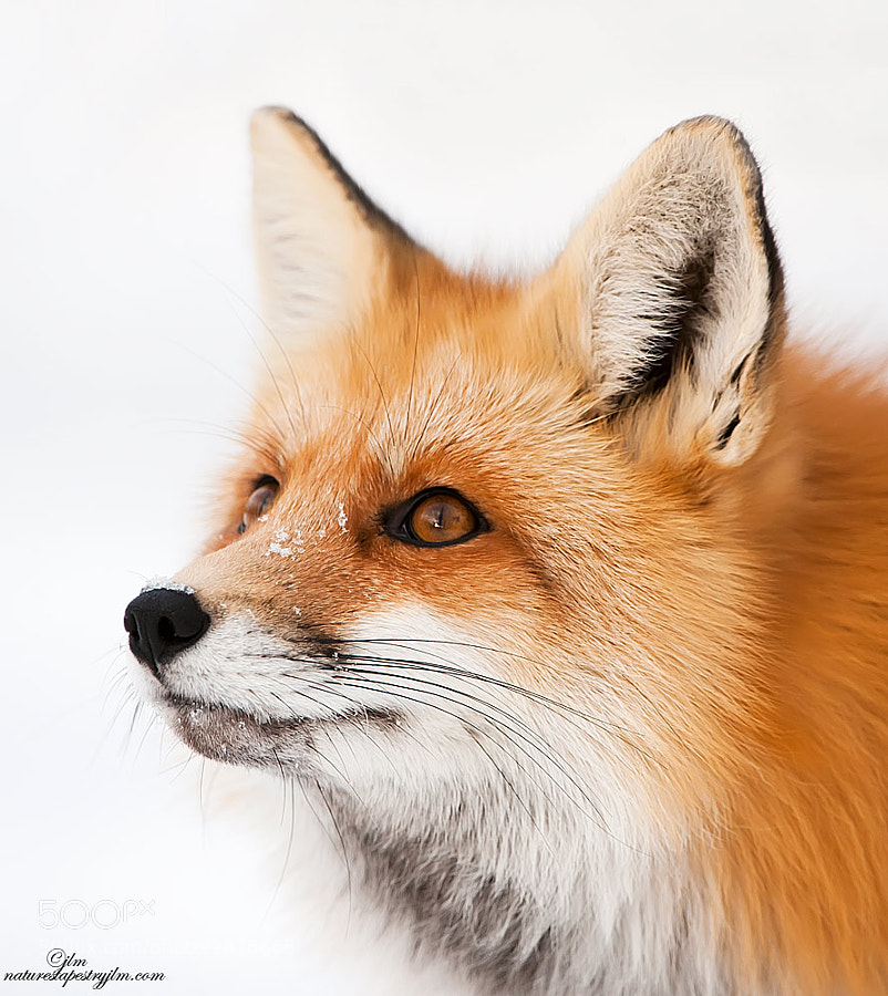 This image was taken of the mountain fox on one of our trips to Cody , Wyoming.  He was so intent on looking up at something that it gave us a great opportunity to photograph him.  They are so beautiful and epecially during the winter months when their coats are thick.