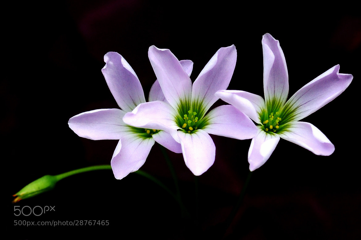 Photograph Flower by Anake Seenadee on 500px