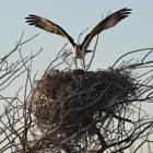 osprey, san ignacio, baja california