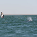 gray whales, laguna san ignacio, baja california