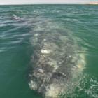 Gray whale, laguna san ignacio, baja california