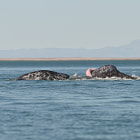 Gray whales mating in Lagna San Ignacio, Baja California