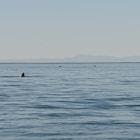 gray whales, san ignacio, baja california