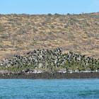 frigate birds, baja california