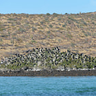 frigate birds, baja california