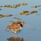 ibis, laguna san ignacio, baja california