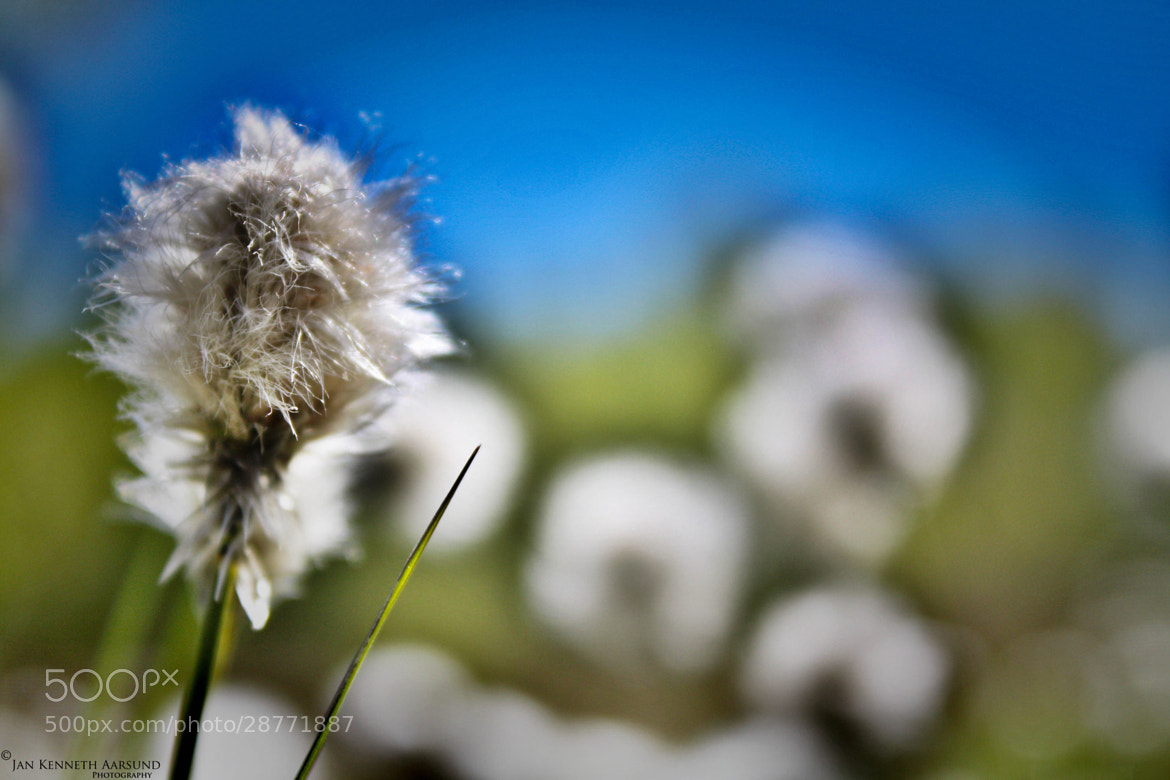 Photograph CottonGrass by Jan Kenneth Aarsund on 500px