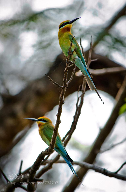 Photograph Blue-tailed Bee-eater by Subhash Radhakrishnan on 500px