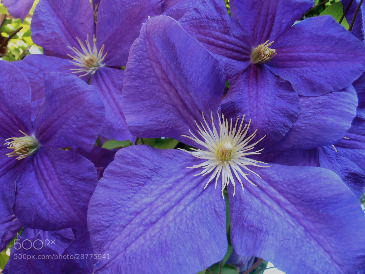 Photograph Purple Clematis by Snezana Petrovic on 500px