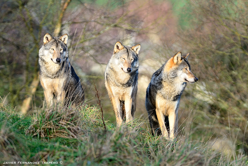 Photograph Wolfes by Javier Fernandez Trapero on 500px