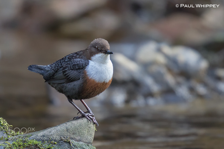 Photograph Dipper (Cinclus cinclus) by Paul Whippey on 500px