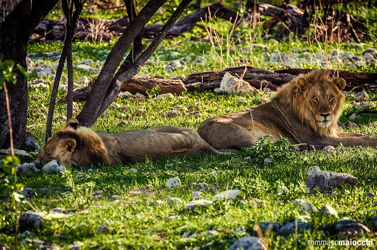 Photograph Young lions after dinner by Tommaso Maiocchi on 500px