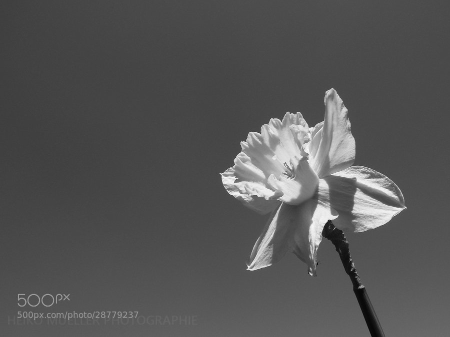 Photograph The daffodil by Heiko Mueller on 500px
