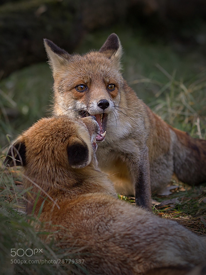 Photograph Red Foxes by Siegfried Noët on 500px