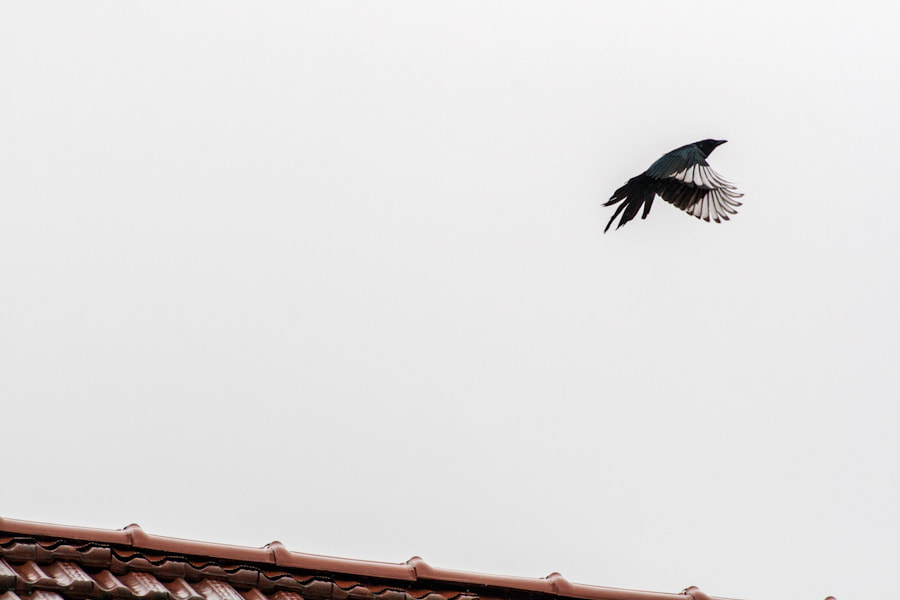 Photograph Roof&Magpie by Francesco Franzetti on 500px