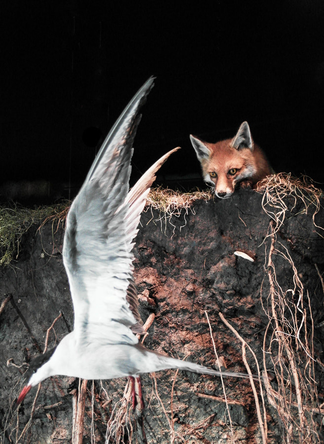 Photograph The fox and the seagull by Heiko Mueller on 500px