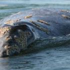 Gray whale in laguna San Ignacio, Baja California