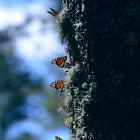 Monarch butterflies, el rosario santuario, michoacan, mexico