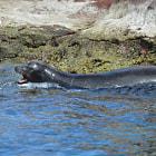 Sea lion, La Paz, California