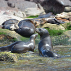 Sea lions, los islotes, baja california