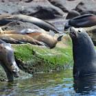 Sea lions, La Paz, Baja California