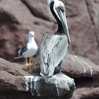 Pelican, baja california