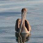 Pelican, la Paz, Baja California