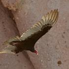 Vulture, La Paz, Baja California