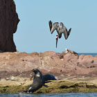 pelican diving, sea lions, los islotes, baja california