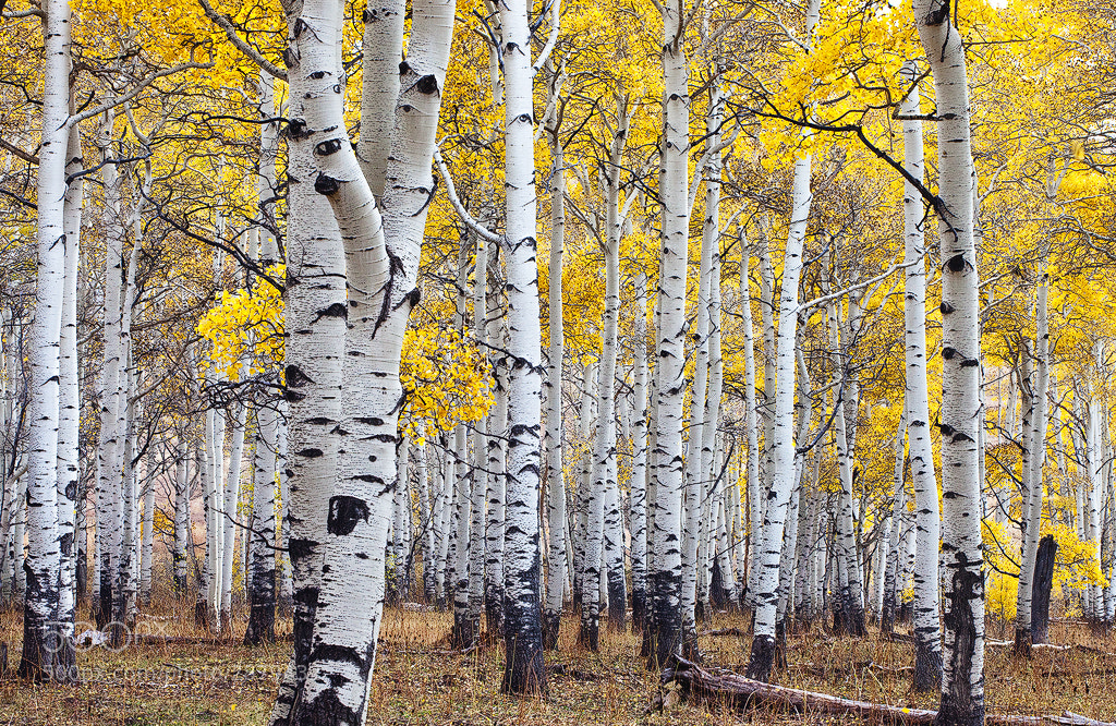 Photograph Aspen Fever by David Thompson on 500px