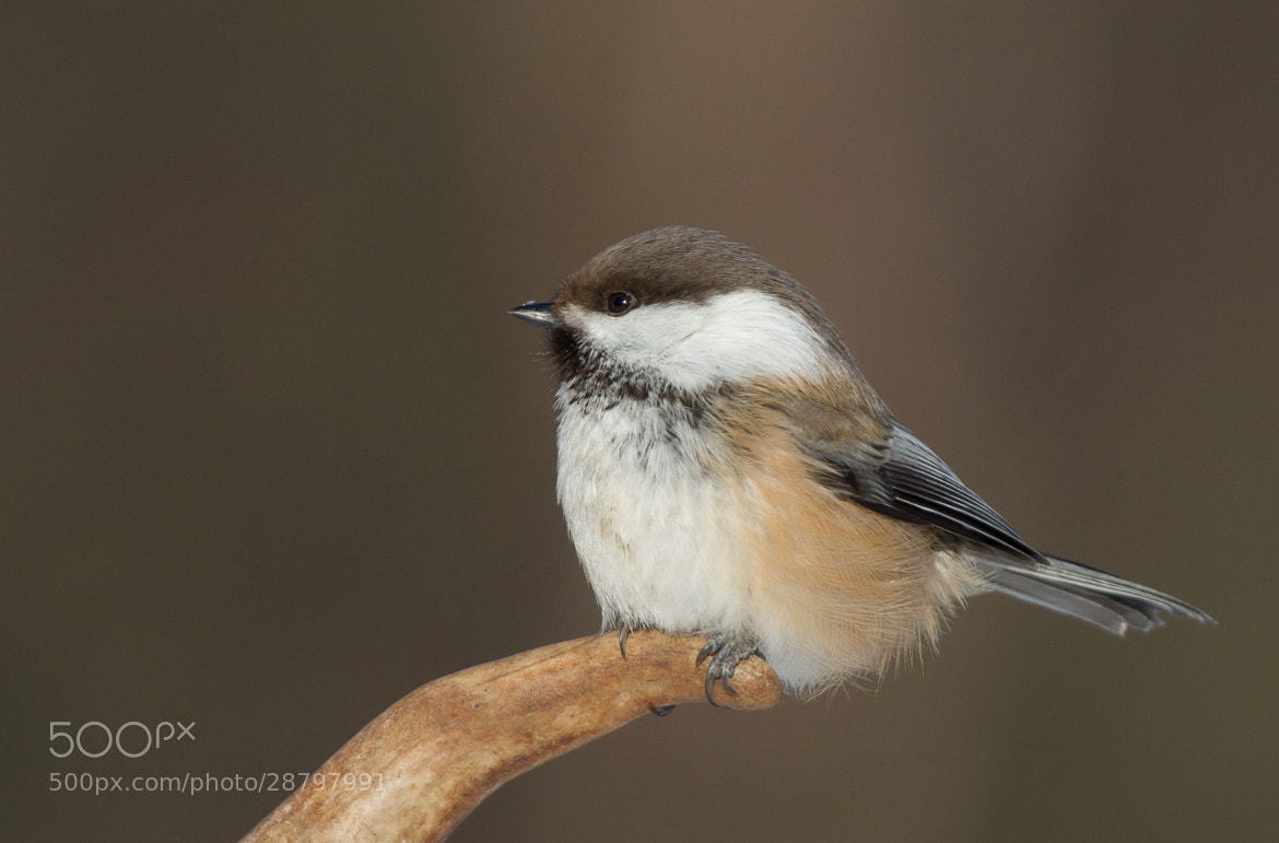 Photograph Siberian Tit by Ian Billenness on 500px