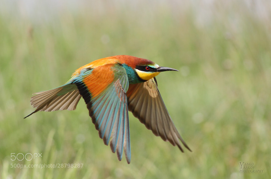 Photograph Merops apiaster by Янко Янков on 500px