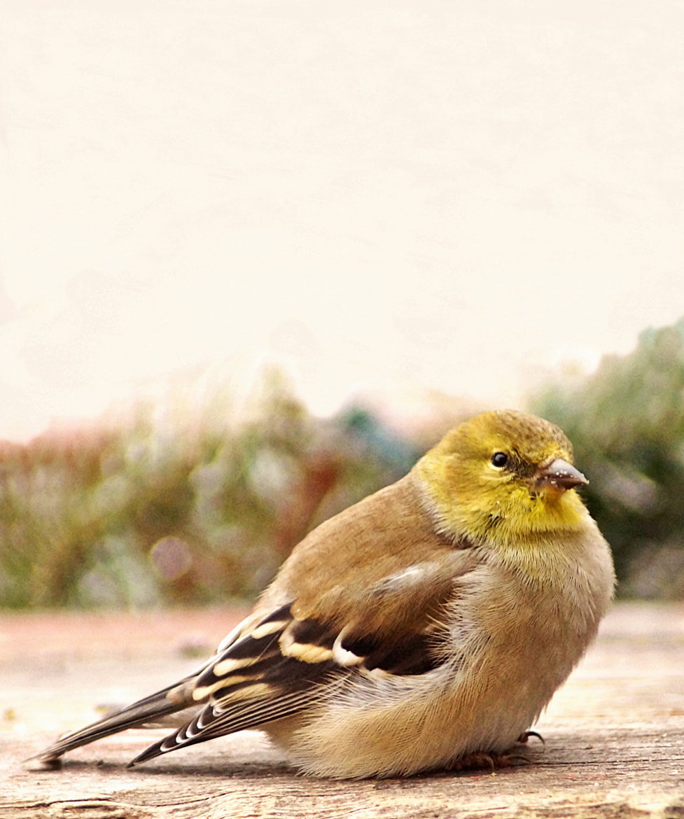 Photograph Goldfinch by cherylorraine smith on 500px