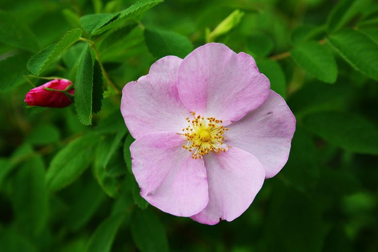 Photograph Wild Rose I by Eelhsa Marie Photography on 500px