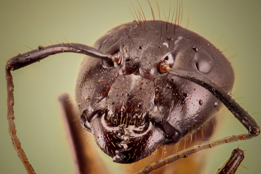 Ant (Focus Stacking)