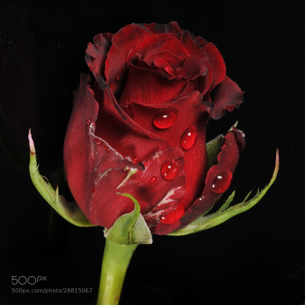 Photograph Red rose in dark tone by Cristobal Garciaferro Rubio on 500px