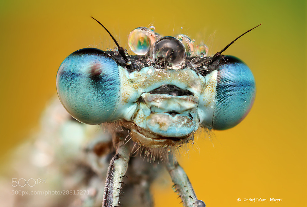 Photograph Blue eye by Ondrej Pakan on 500px