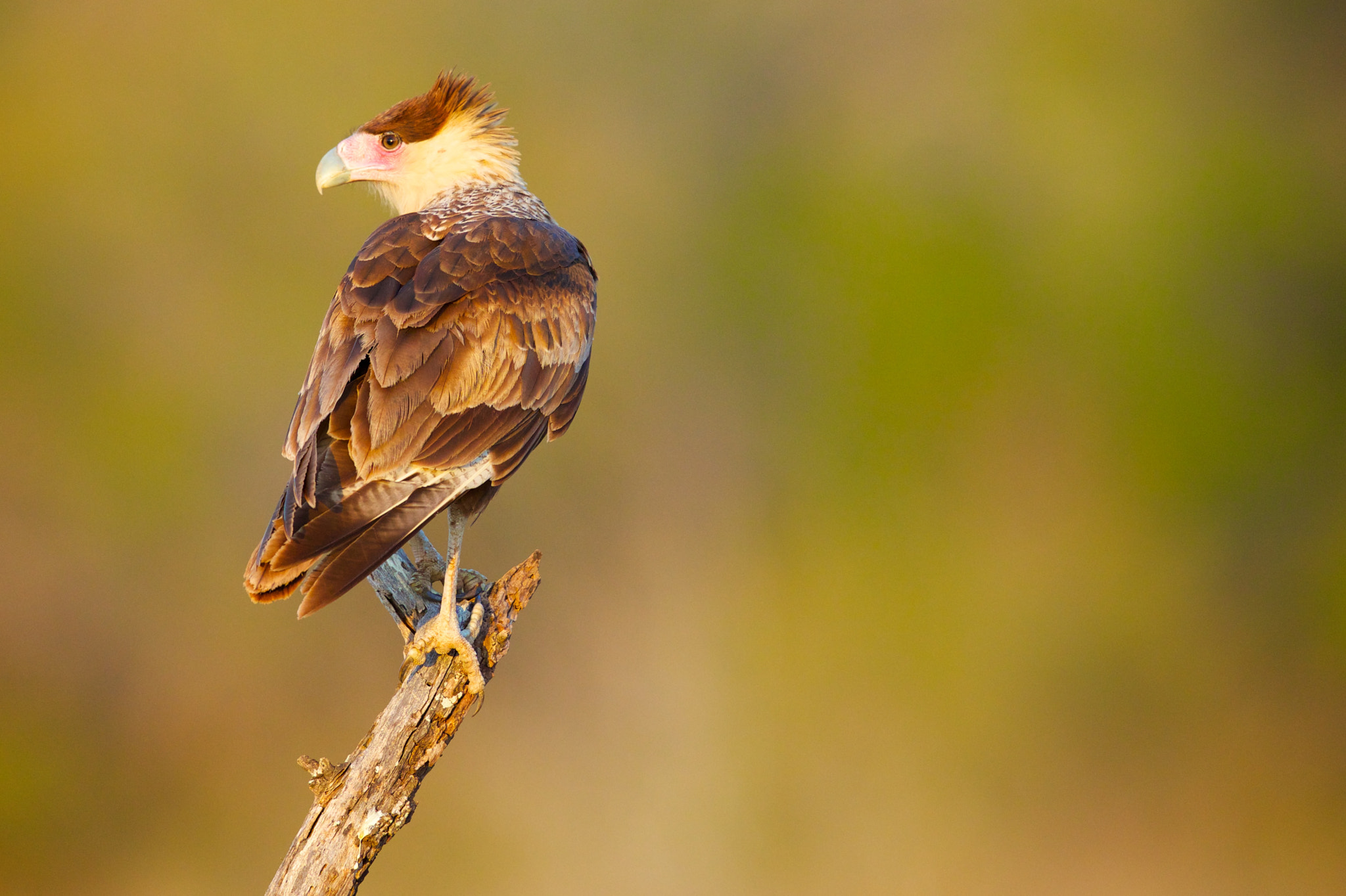 Photograph Crested Caracara by Brian Didrikson on 500px