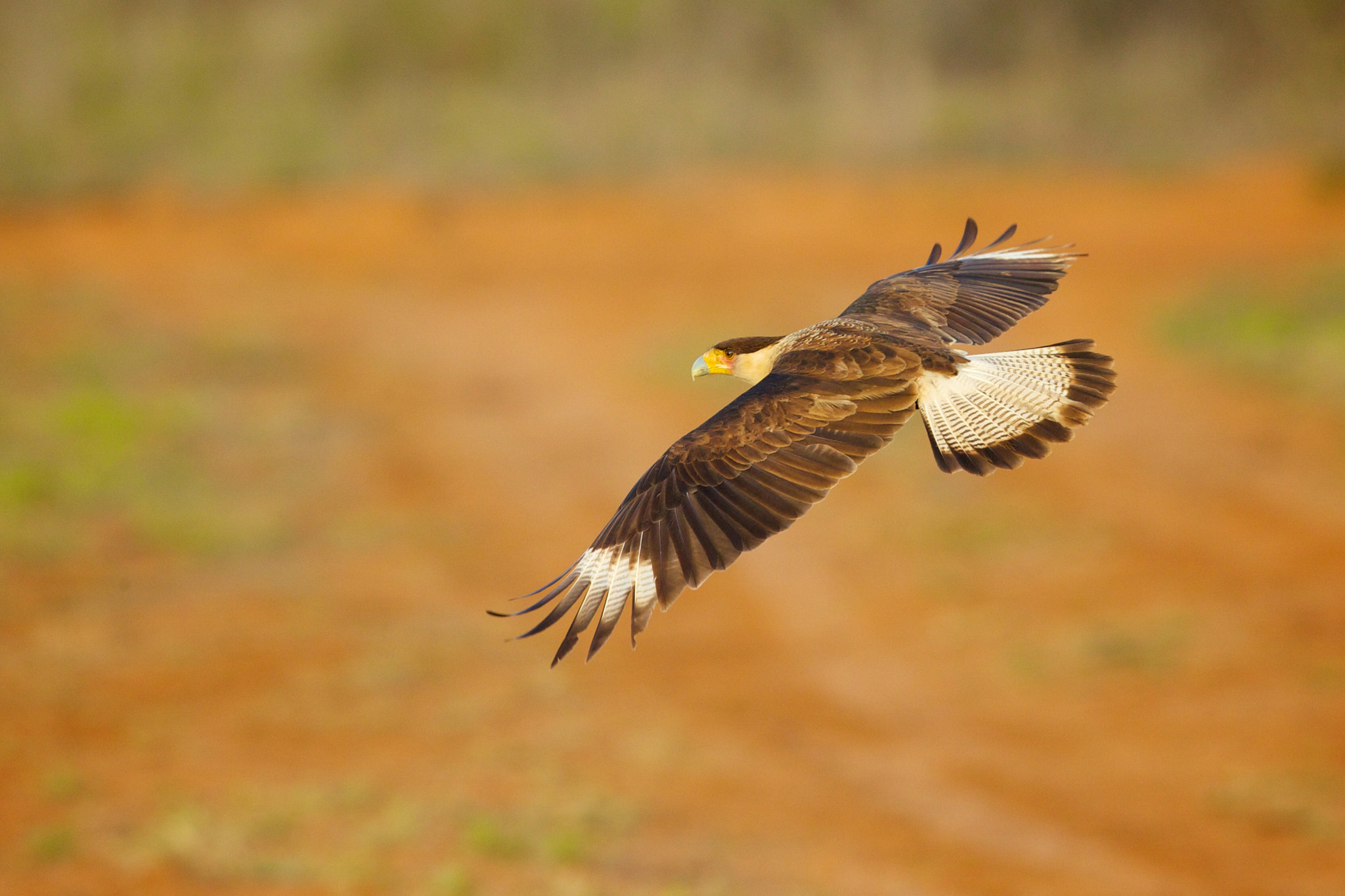 Photograph Caracara in Flight by Brian Didrikson on 500px