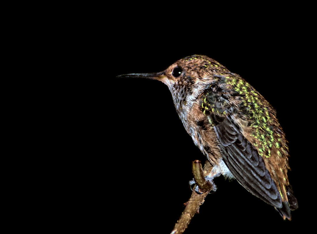 Photograph Baby Hummingbird by Peter Dang on 500px