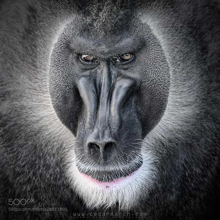 Photograph Baboon by Cesar March on 500px