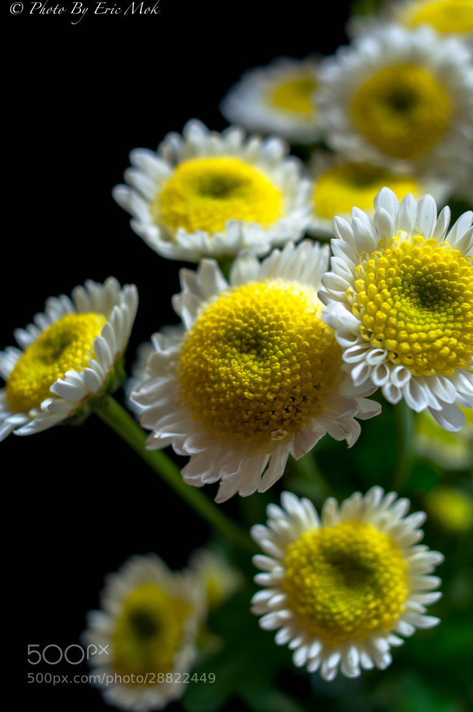 Photograph Small chrysanthemum by Mok Eric on 500px